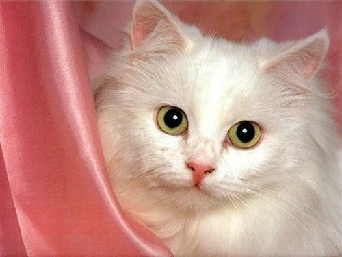Tubes et images chats