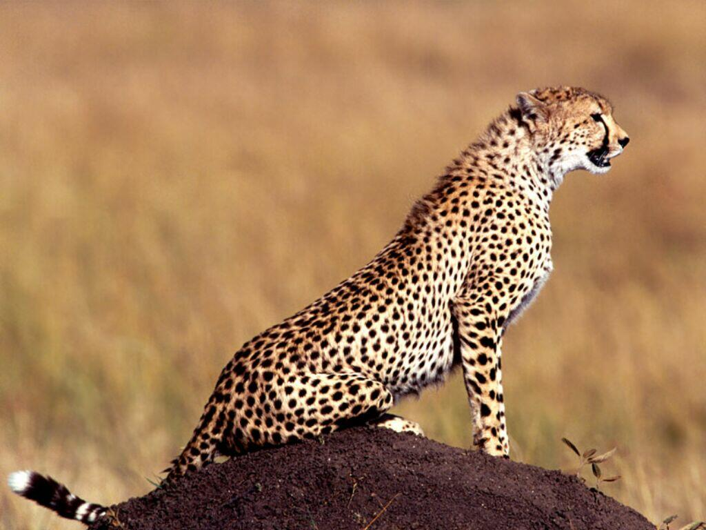 Image léopard